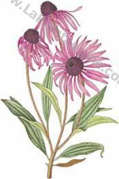 Erbario - Echinacee