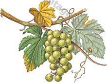 Opc da semi di Uva