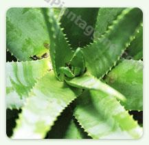 Aloe - Foglie fresche di Aloe ARBORESCENS gr 400