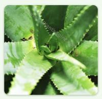 Aloe Arborescens Foglie fresche di Aloe ARBORESCENS gr 400