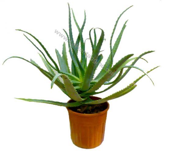 Pianta fresca Aloe Arborescens