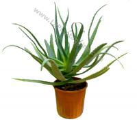 Aloe Arborescens Pianta fresca Aloe Arborescens